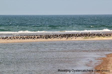Blakeney-Harbour-Oystercatchers-9295