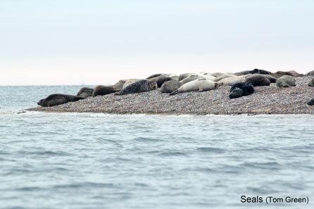 Blakeney-Harbour-Seals-8744