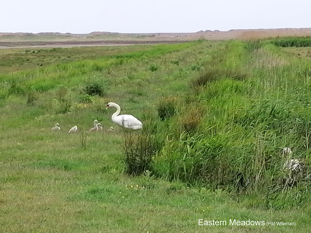 Cley-Marshes-E-200608_072330-Mute-Swans