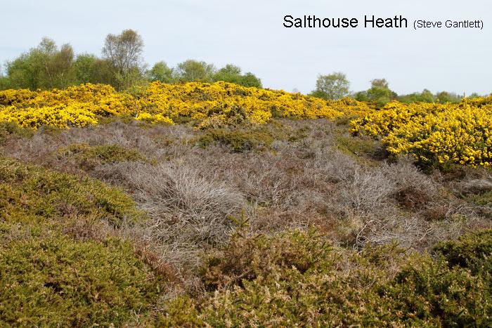 Salthouse-Heath-Gorse-001-15_04_2017